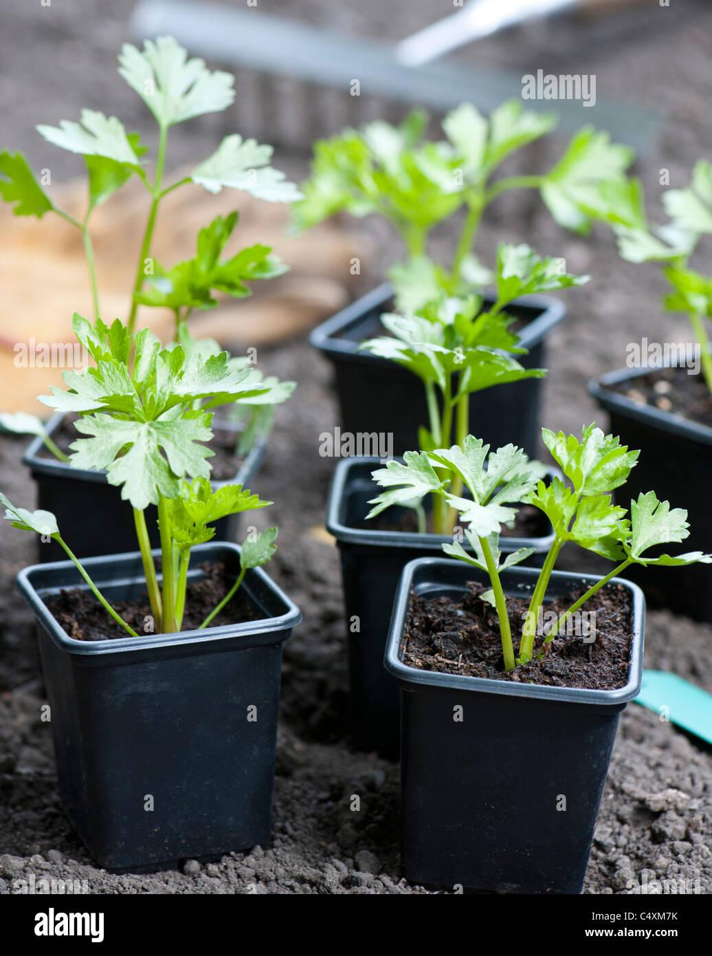 Giovani piante di sedano rapa gigante (Praga) pronti per la semina in giardino Immagini Stock