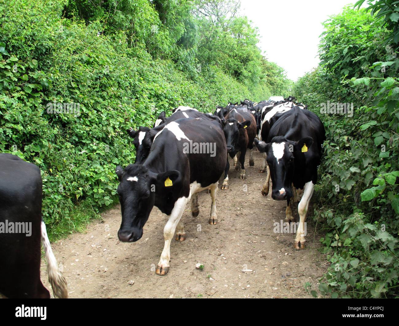 Il frisone di vacche da latte a piedi lungo un Devon farm via al pomeriggio di mungitura Immagini Stock