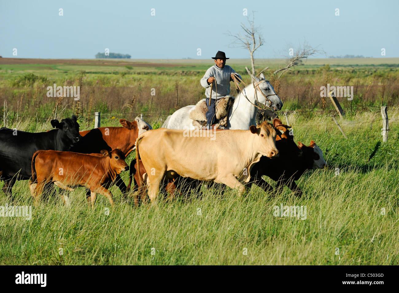 URUGUAY - Tacuarembó, mucca mandria e il Gaucho a cavallo Immagini Stock