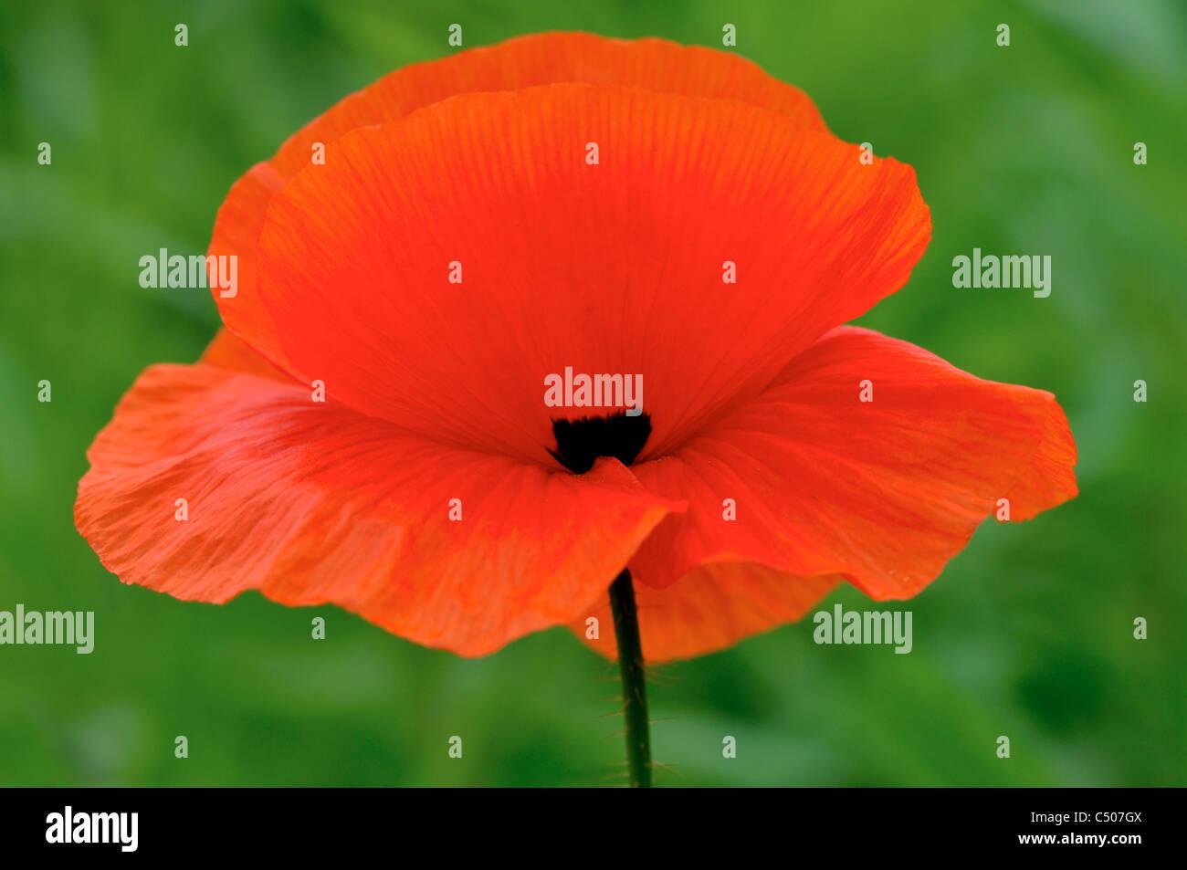Fiore di papavero rosso con sfondo verde. Immagini Stock