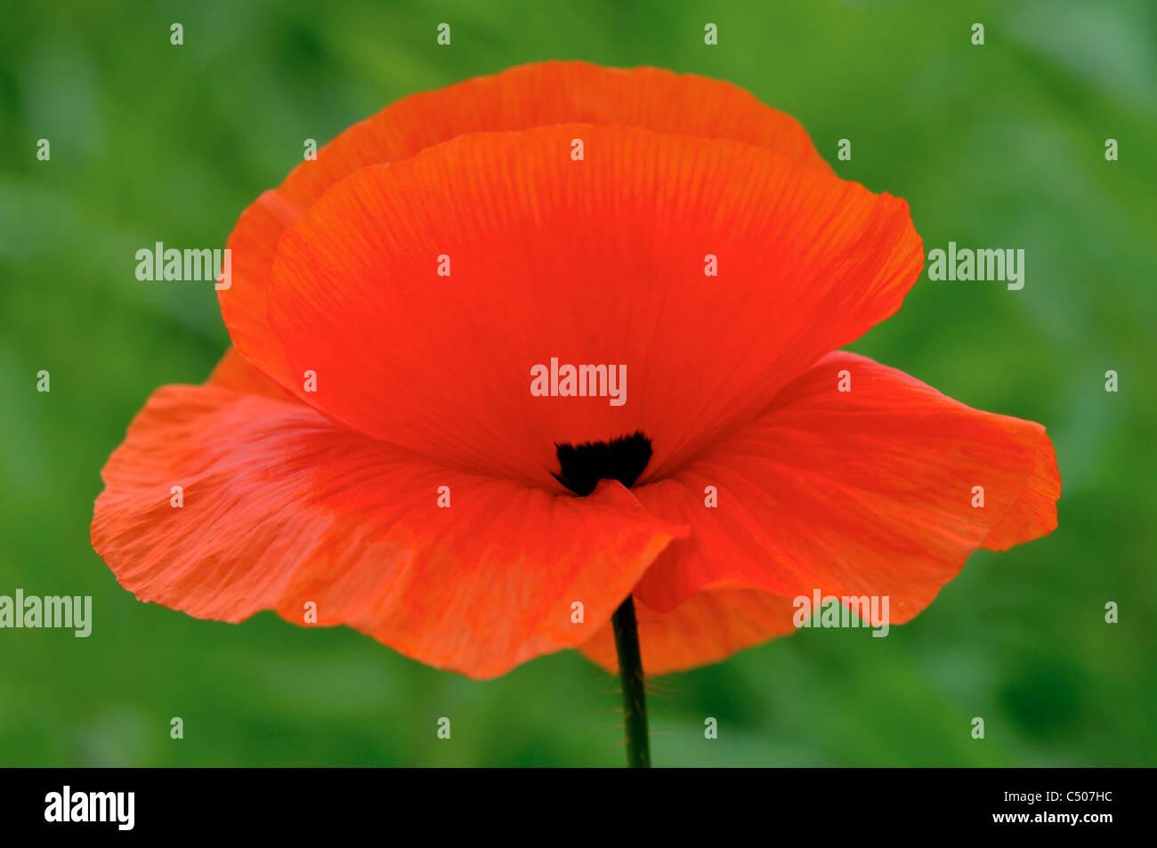 Fiore di papavero rosso. Immagini Stock