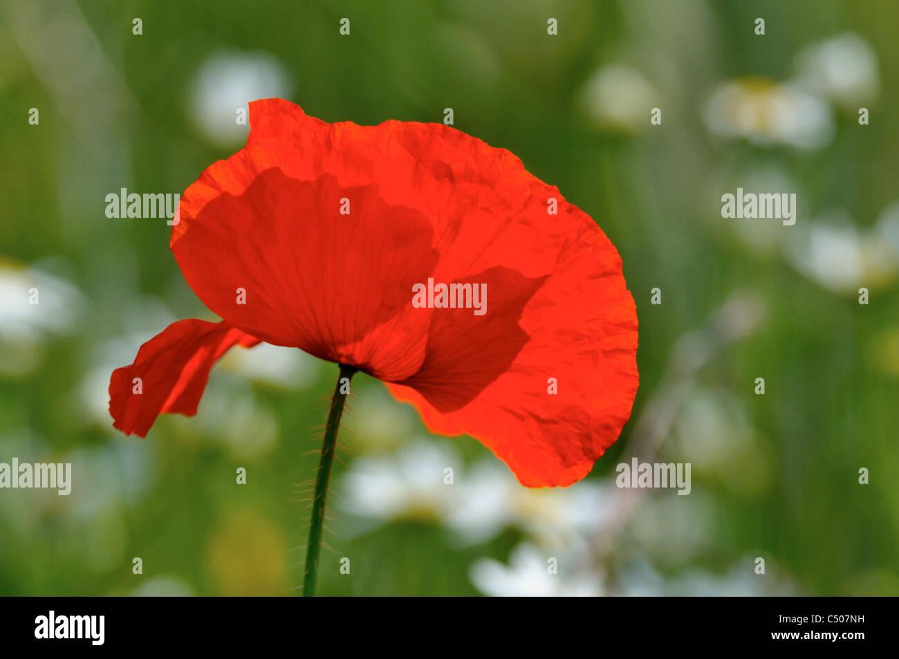 Fiore di papavero rosso con un dolce sottofondo. Immagini Stock