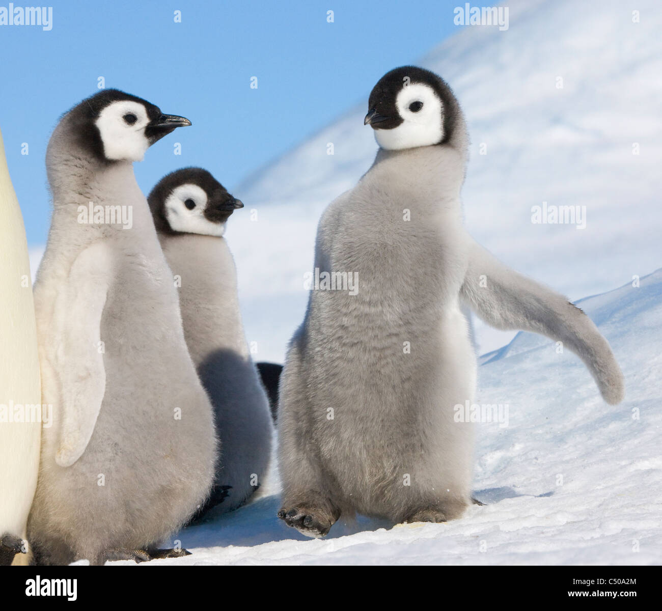 Pinguino imperatore pulcini su ghiaccio, Snow Hill Island, Antartide Immagini Stock