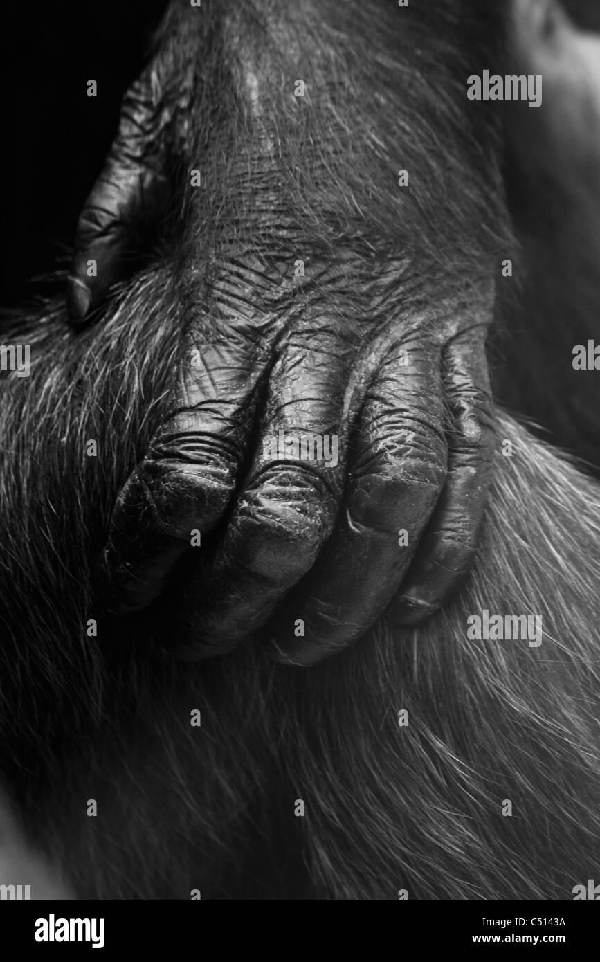 Close-up di gorilla la mano Immagini Stock