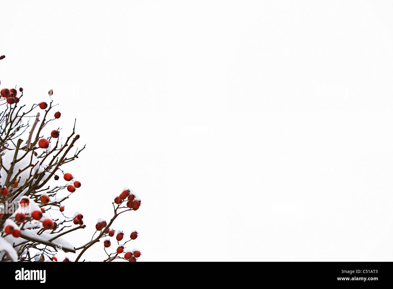 La frutta rossa sulla bussola in inverno Immagini Stock