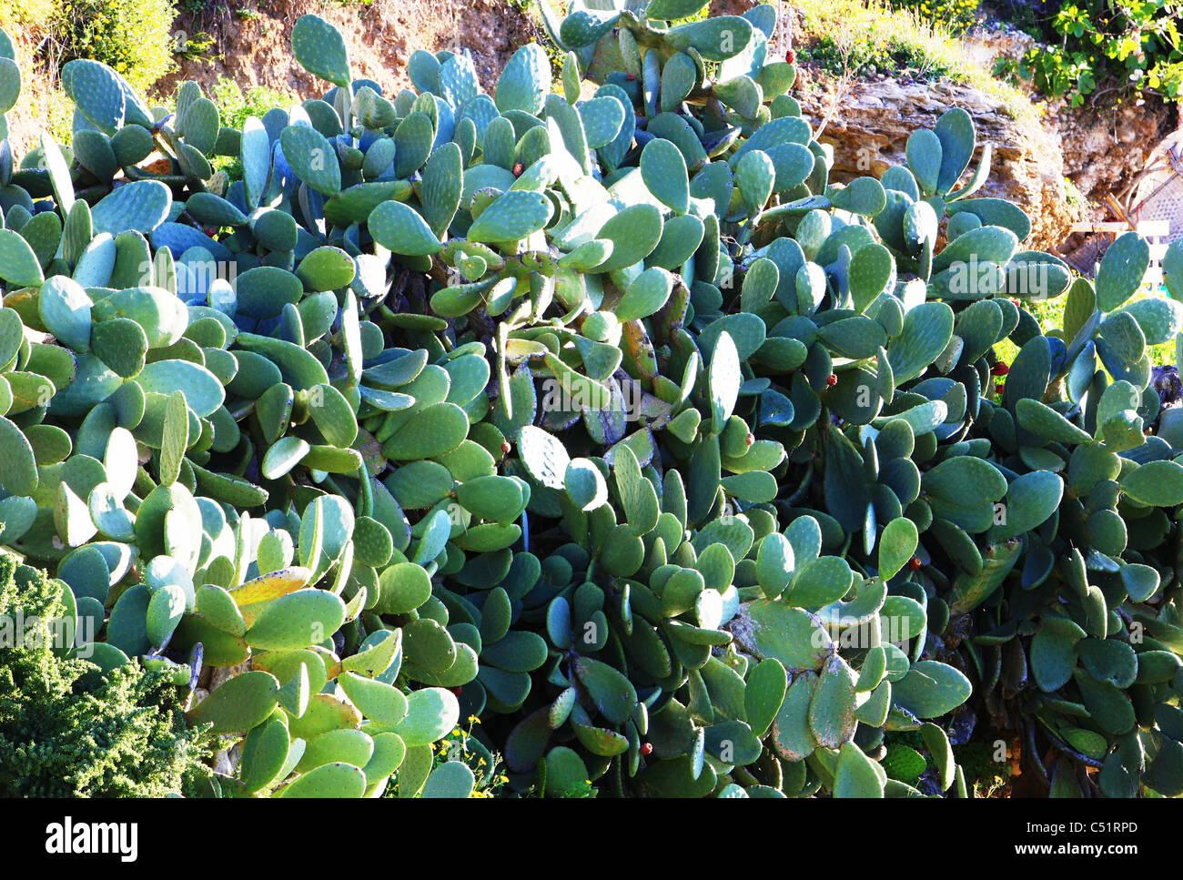 Le molteplici e diverse sfumature di verde di una pianta di cactus Immagini Stock