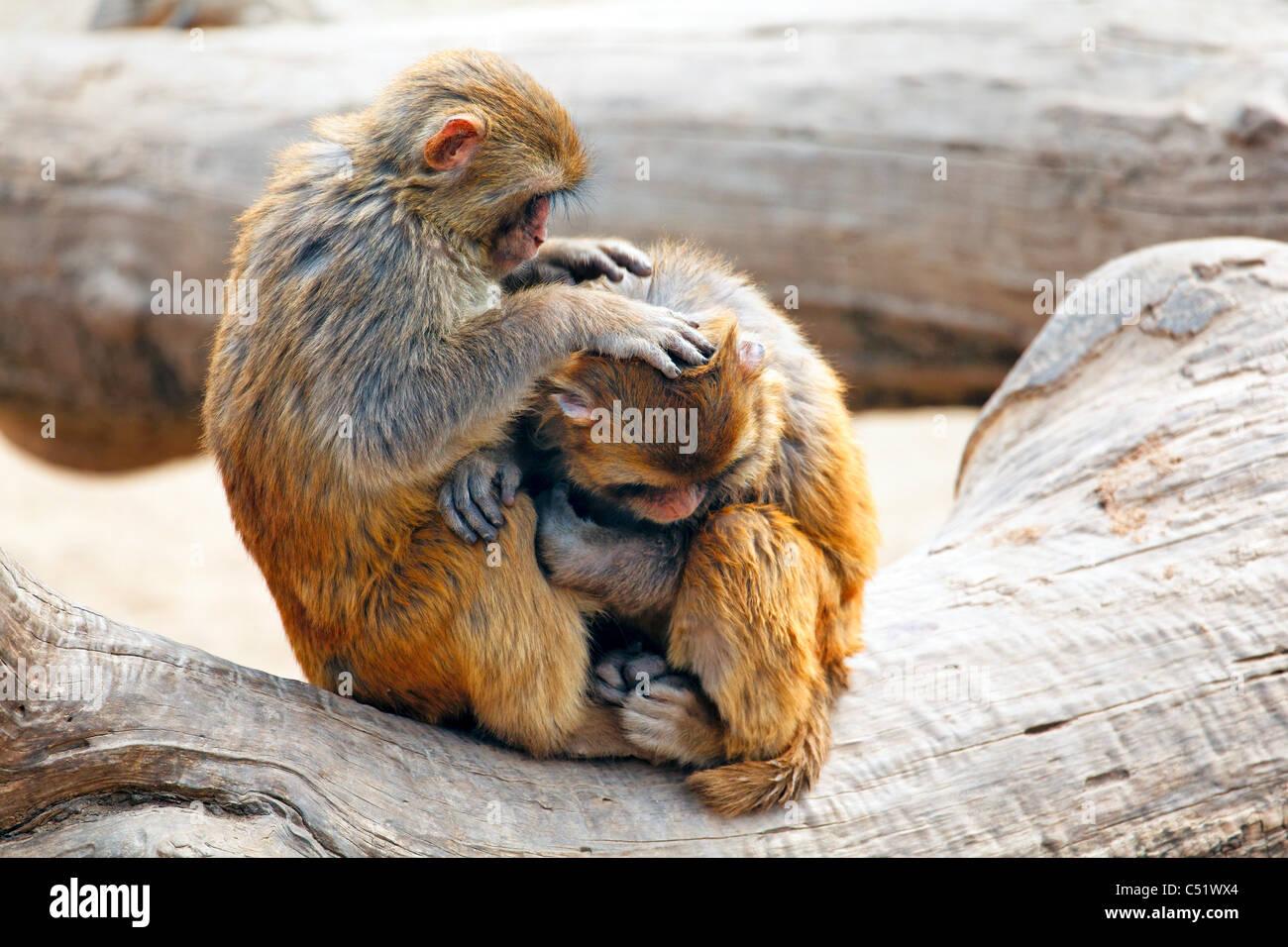 Due scimmie rhesus che interagiscono su un albero, Quingling Mountain Zoo, Xian, Shaanxi, Cina Immagini Stock