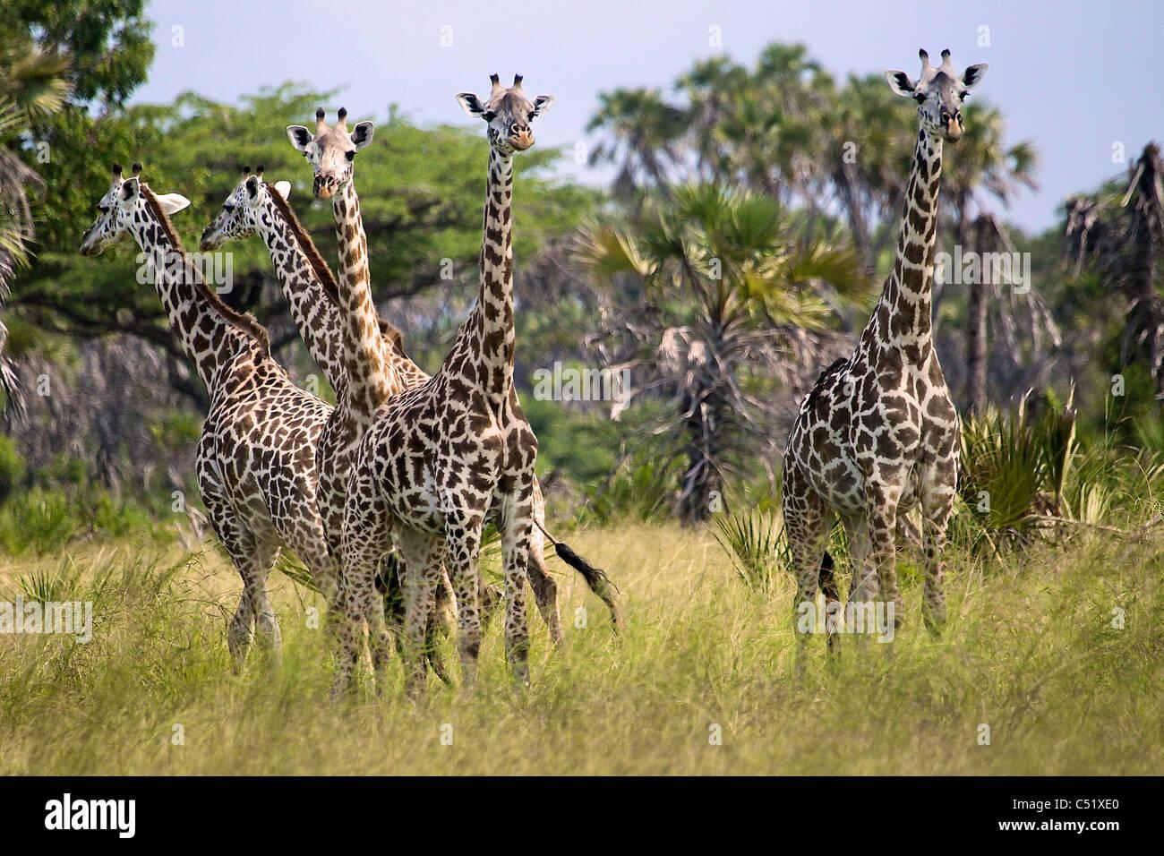 Giraffa camelopardalis Giraffa Saadani Tanzania Africa Immagini Stock