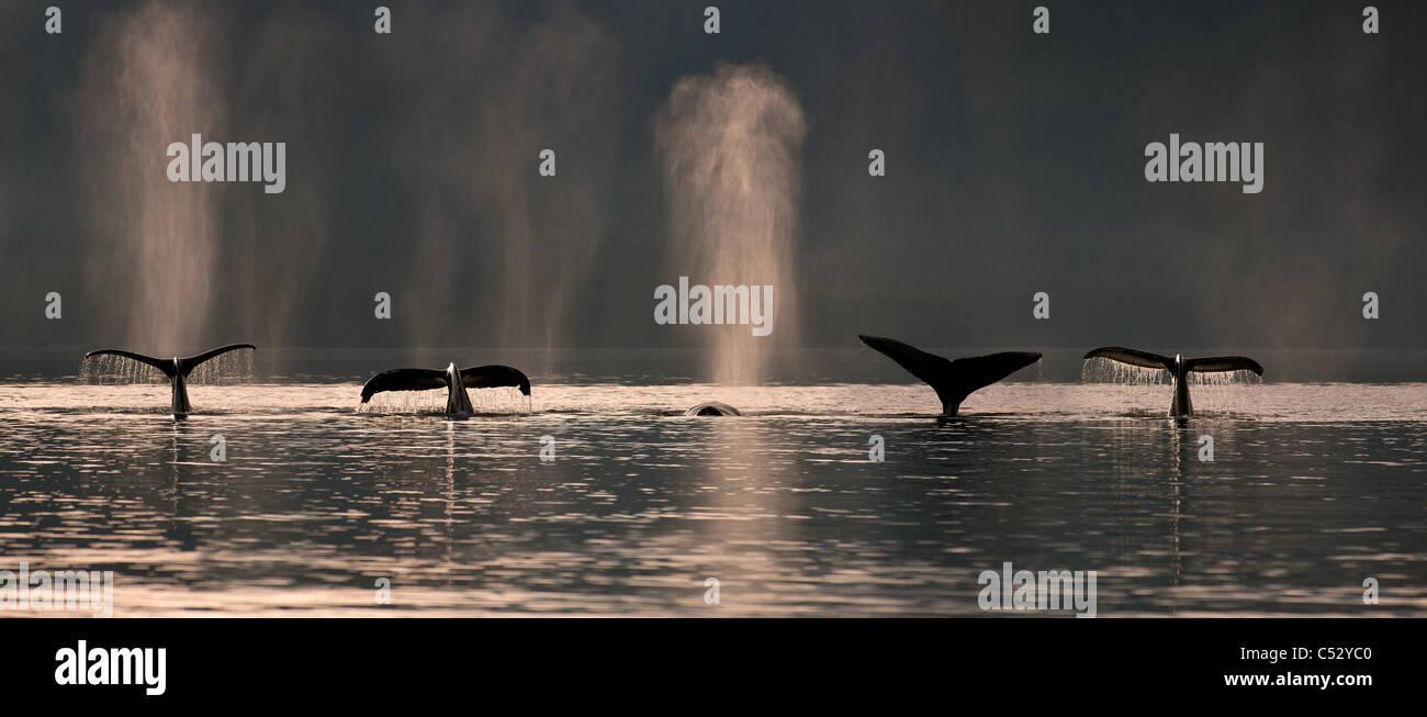 Un gruppo di balene Humpback dive verso il basso come si alimenta in Stephens passaggio nei pressi Admiralty island, Immagini Stock