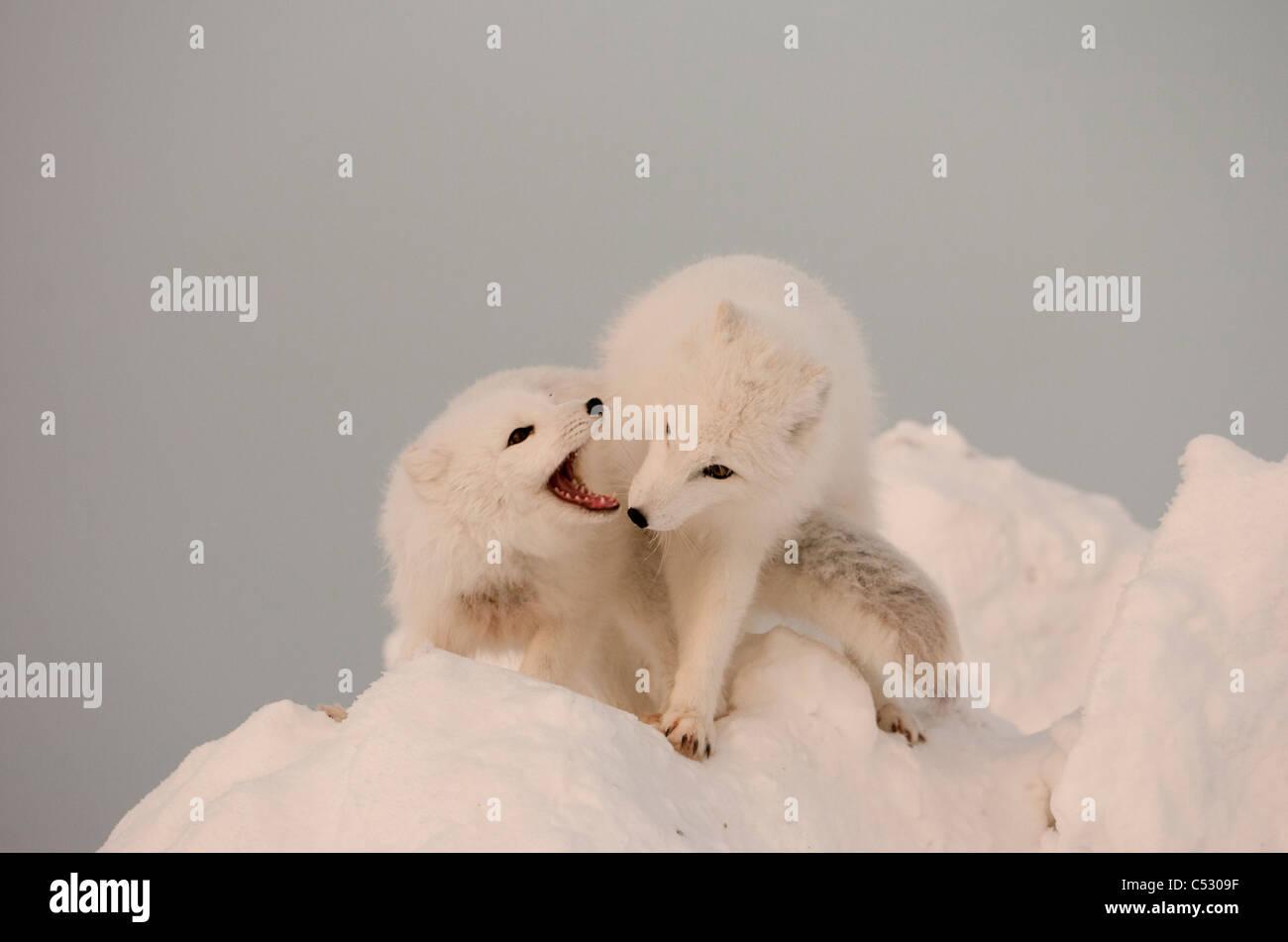 Due volpi artiche giocare sulla sommità di un grande pezzo di ghiaccio, Churchill, Manitoba Canada, inverno Immagini Stock
