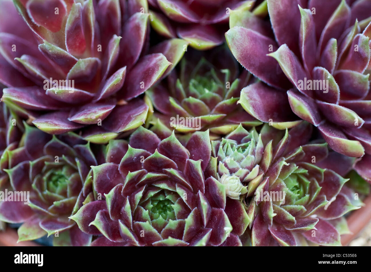 Sempervivum 'corona' - Houseleeks o Liveforever Immagini Stock