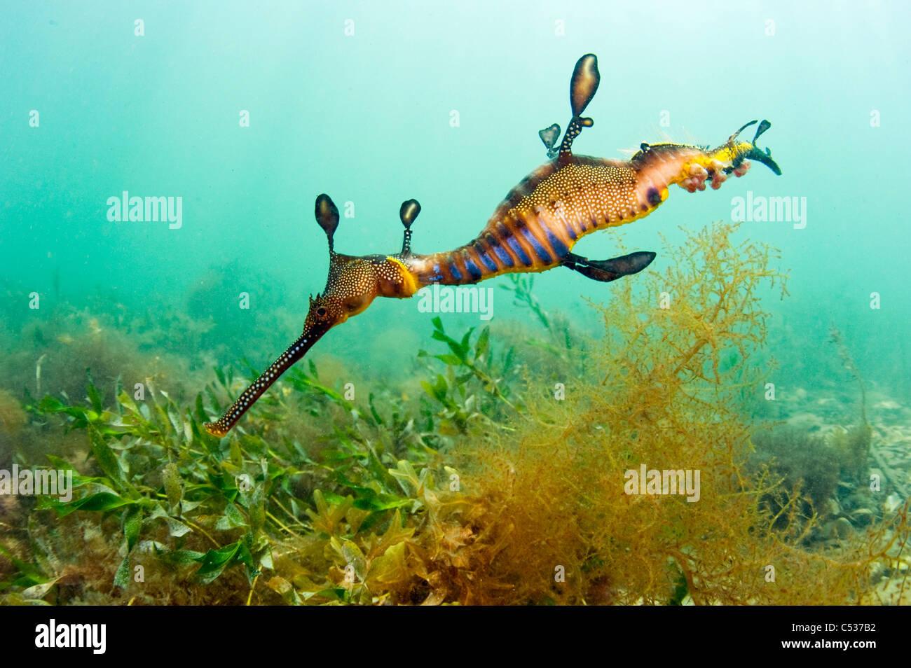 Un Weedy o mare comune Dragon (Phyllopteryx taeniolatus) nuota tra il kelp attorno al molo in Flinders, Australia. Immagini Stock