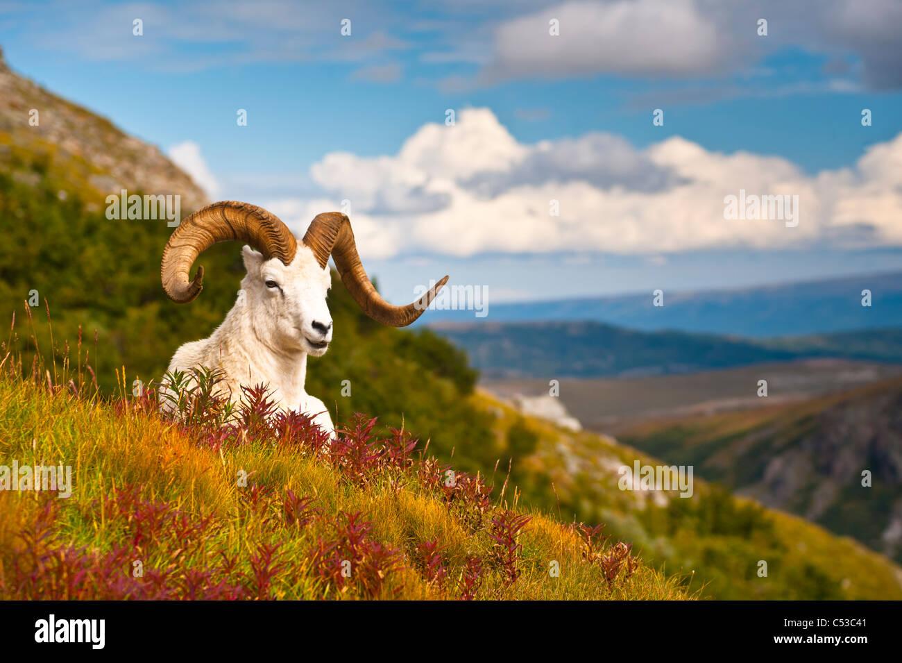 Adulto dallâ pecore ram in appoggio sul fianco di una collina sulla tundra caduta vicino a Savage River Valley Immagini Stock