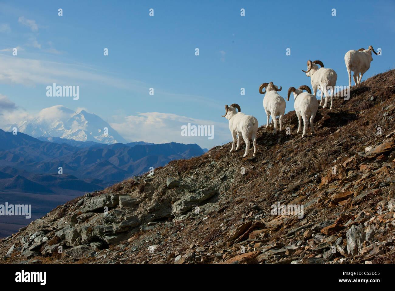 Una banda di dallâ pecore arieti stand su di un colle roccioso e guardare verso Mt. McKinley in background, Immagini Stock