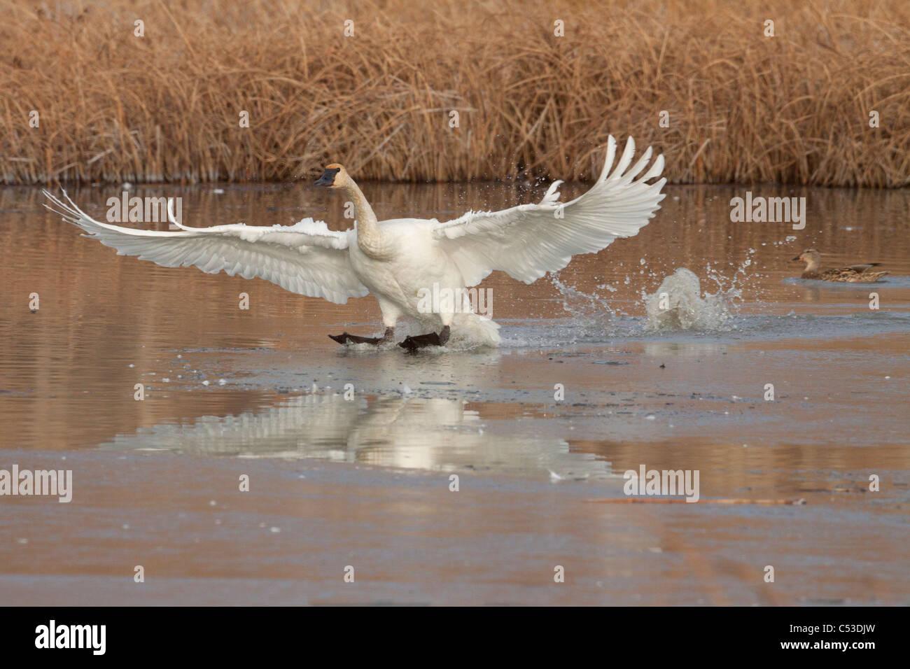 Un singolo Trumpeter Swan proviene in per un atterraggio a Potter Marsh vicino a Anchorage, centromeridionale Alaska, Immagini Stock