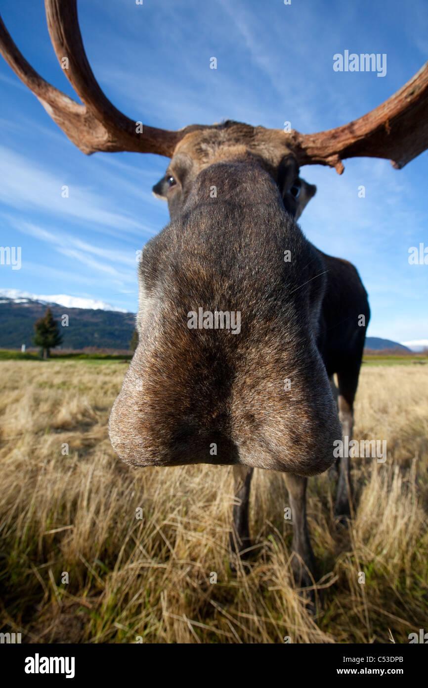 Un ampio angolo di vista ravvicinata di un toro di alci in Alaska Widllife Conservation Centre, centromeridionale Immagini Stock