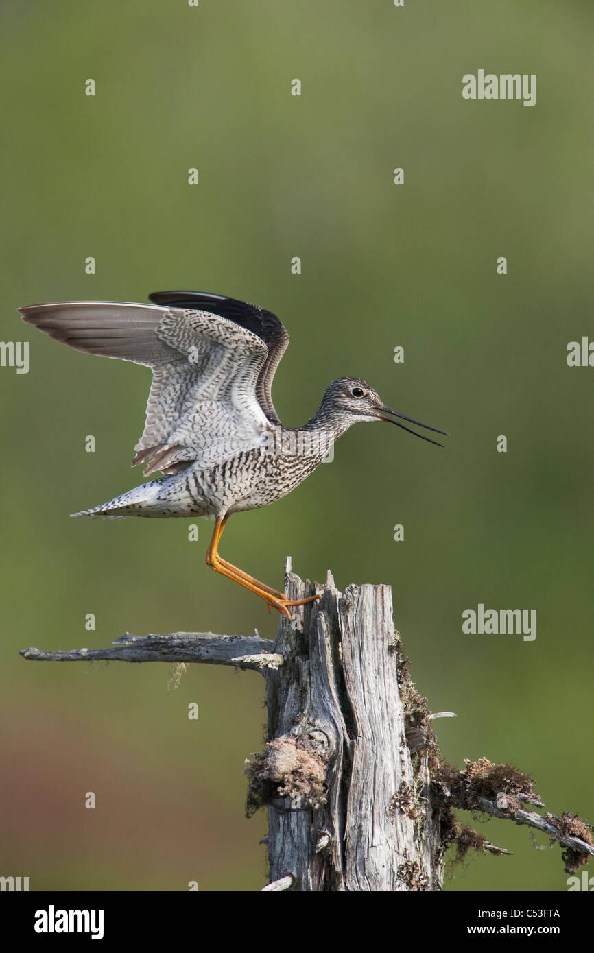 Maggiore Yellowlegs fa un display territoriale oltre il nido per lo sbarco su un albero morto con alette aperte, Immagini Stock