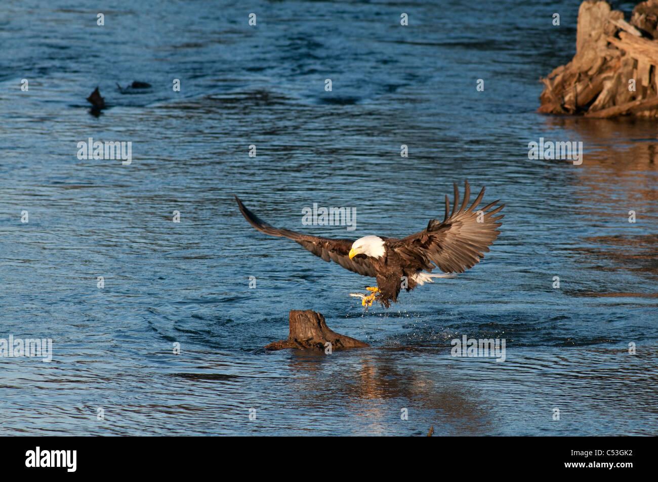 Aquila calva le catture di pesce hooligan nei suoi artigli mentre la pesca nel Alaganik Slough, Chugach National Immagini Stock