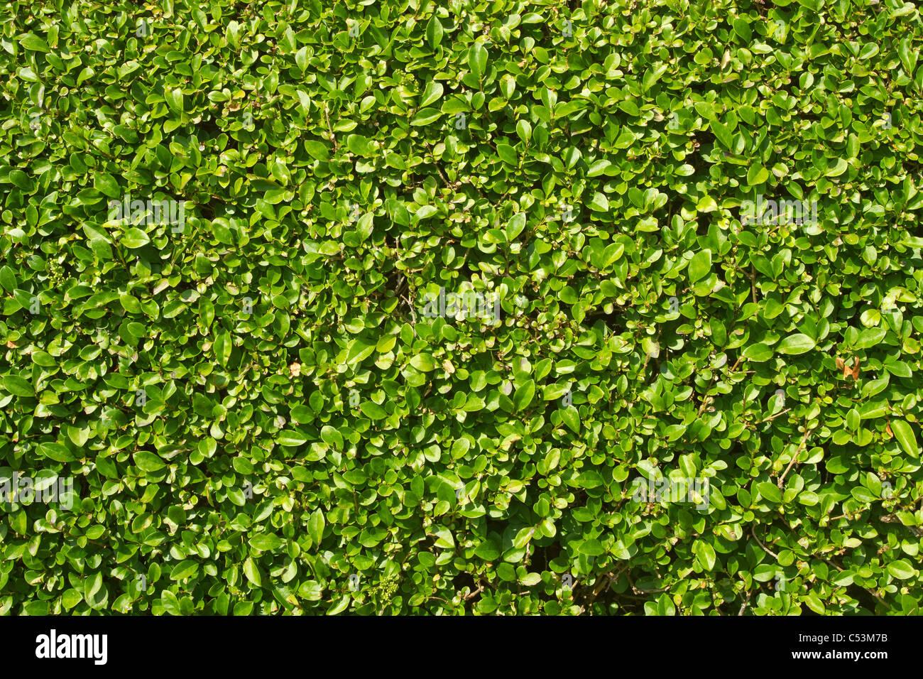 Un perfettamente rifilati siepe giardino verde lascia vicino. Immagini Stock
