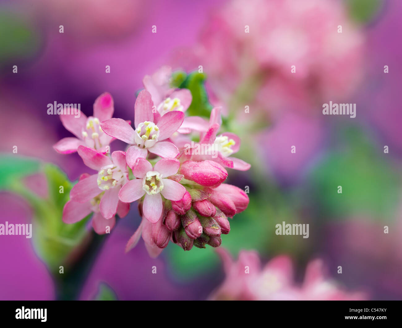 Close up del re Edward fioritura corrente (ribes Sanguineum). Oregon Immagini Stock