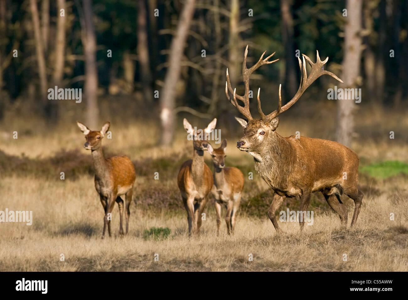 I Paesi Bassi, Otterlo, Parco Nazionale chiamato De Hoge Veluwe. Il cervo (Cervus elaphus). Immagini Stock