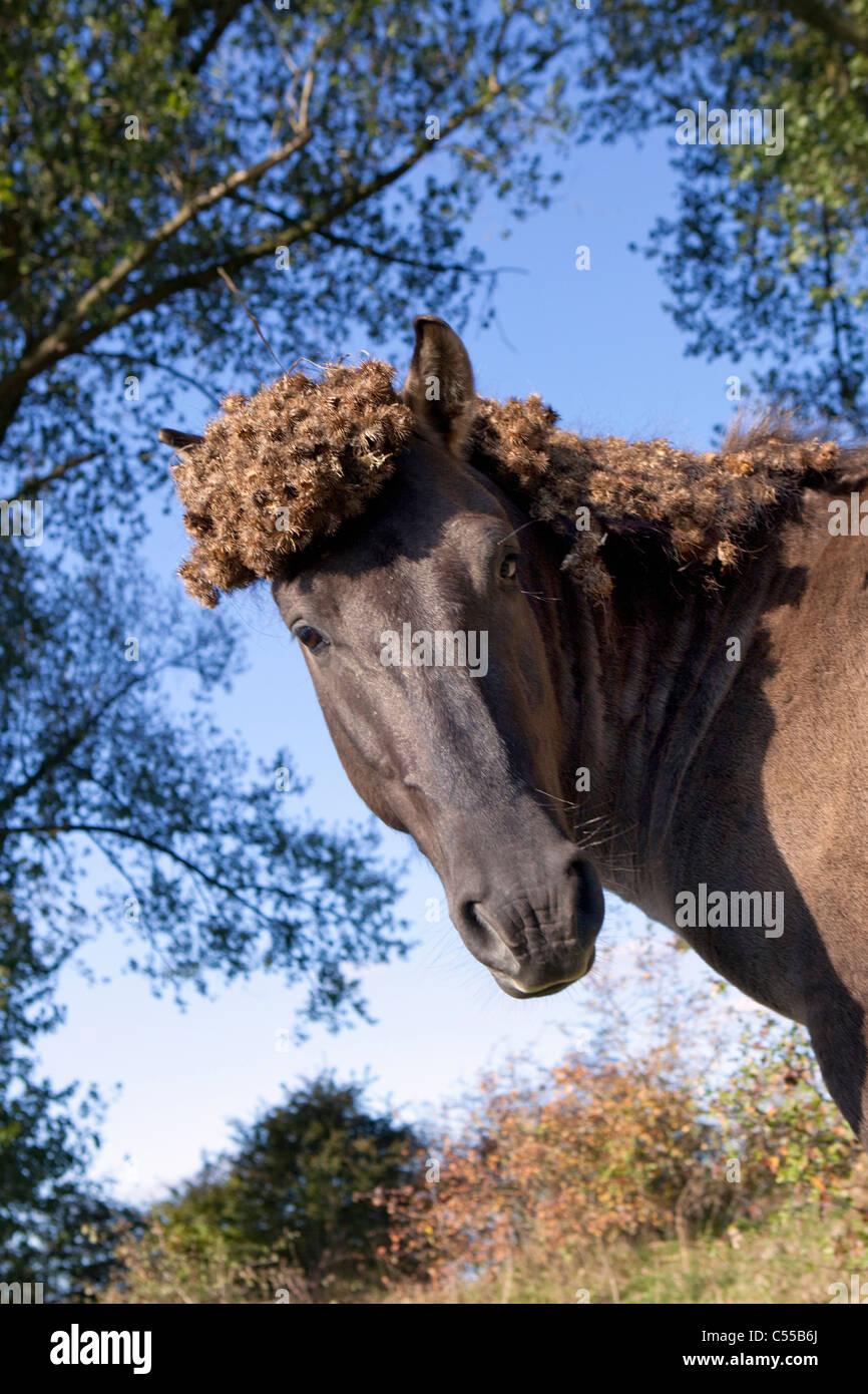 I Paesi Bassi, Ooij, Ooij-polder. Cavallo di Przewalski. Immagini Stock