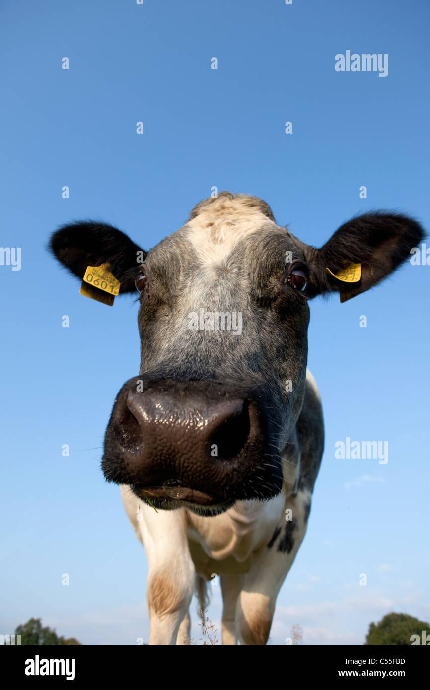 I Paesi Bassi, Epen, vicino la mucca Immagini Stock