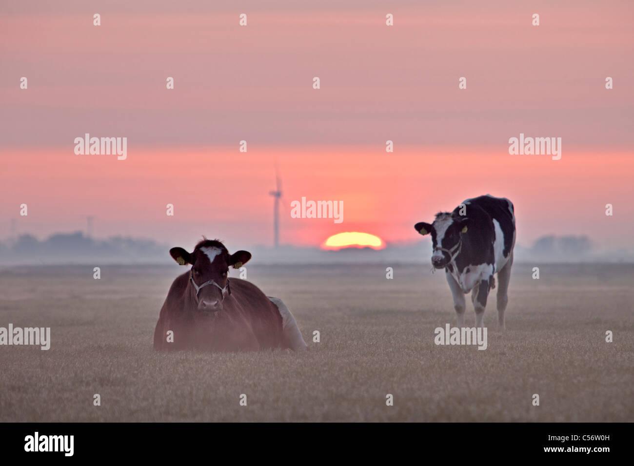 I Paesi Bassi, Callantsoog, mucche nella nebbia di mattina a sunrise. Foto Stock
