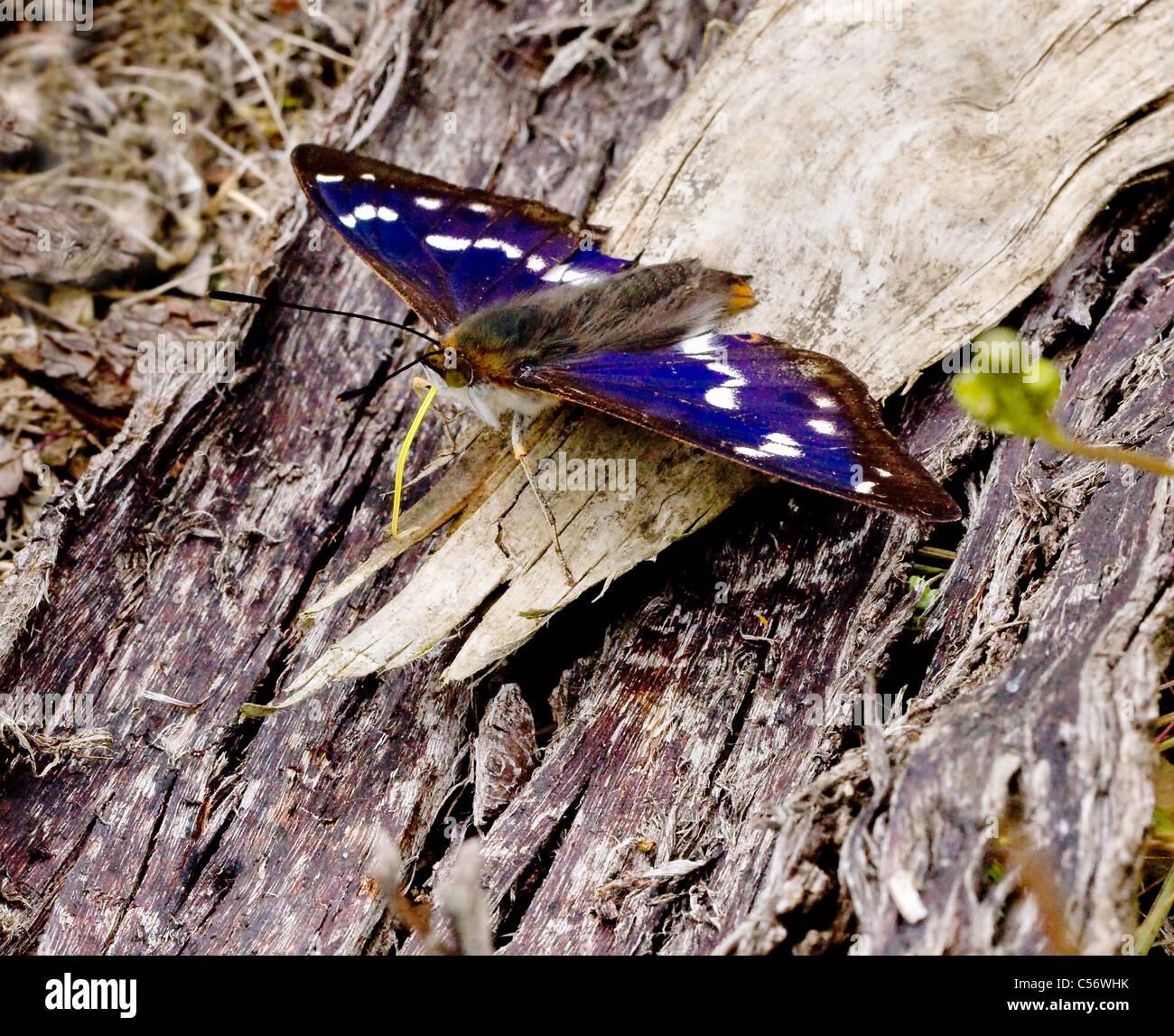 Battaglia segnato maschio imperatore viola butterfly Apatura iris con il suo bel giallo limone proboscide per alimentare Immagini Stock