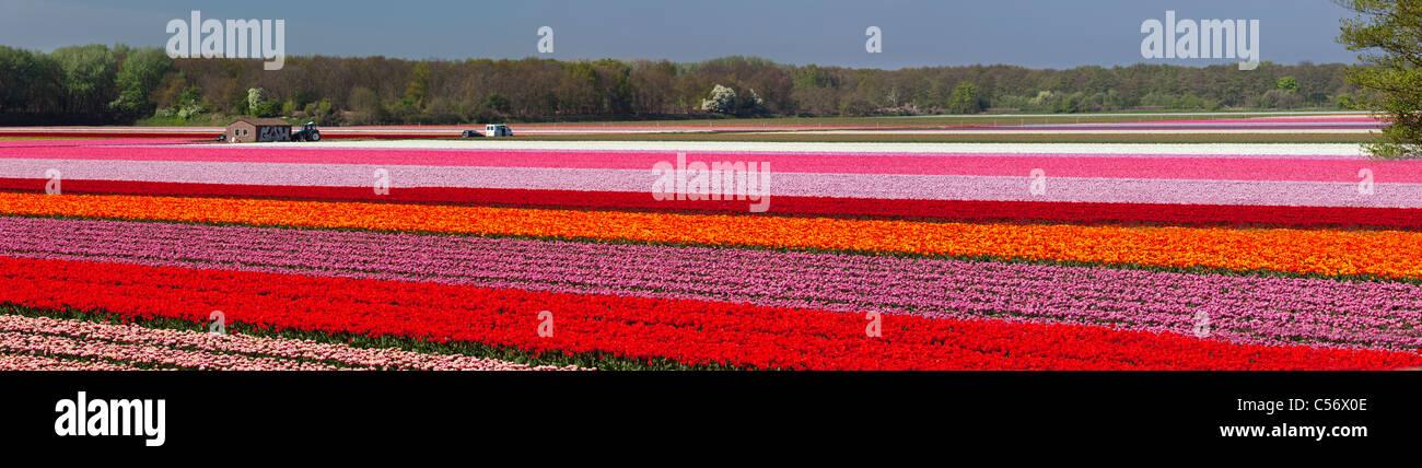 I Paesi Bassi, Vogelenzang, fiore e campi di tulipani. Immagini Stock