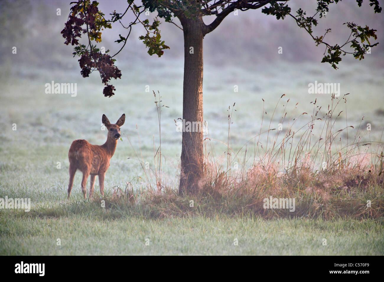 I Paesi Bassi, 's-Graveland, cervo e capriolo. Immagini Stock