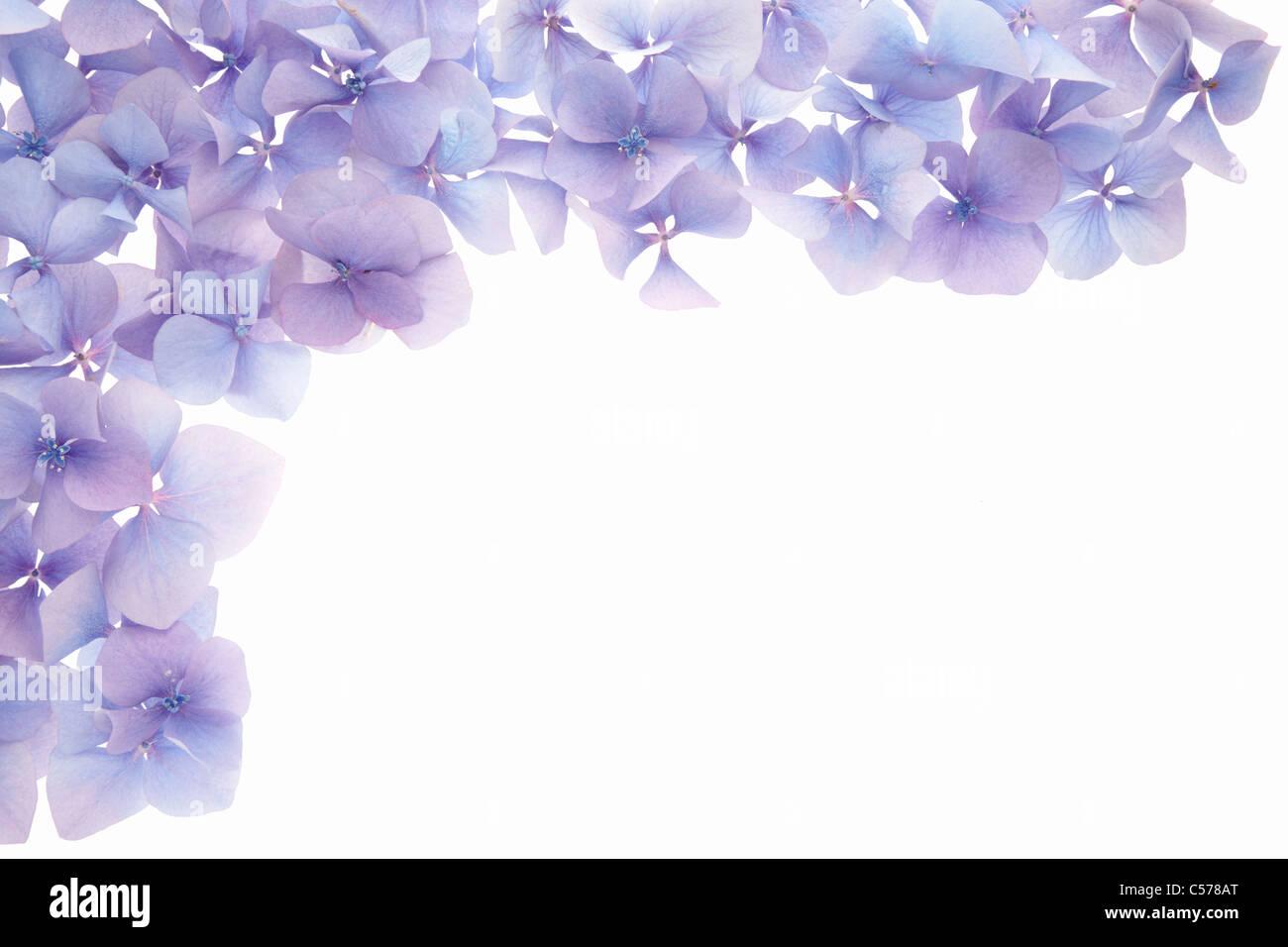 Ortensie blu fiore confine Foto Stock