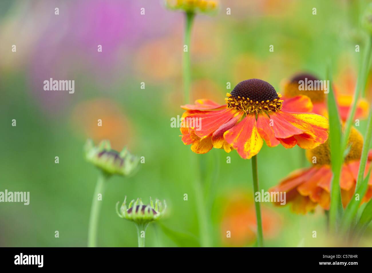 Helenium 'sahin presto flowerer'. Fiore Sneezeweed Foto Stock