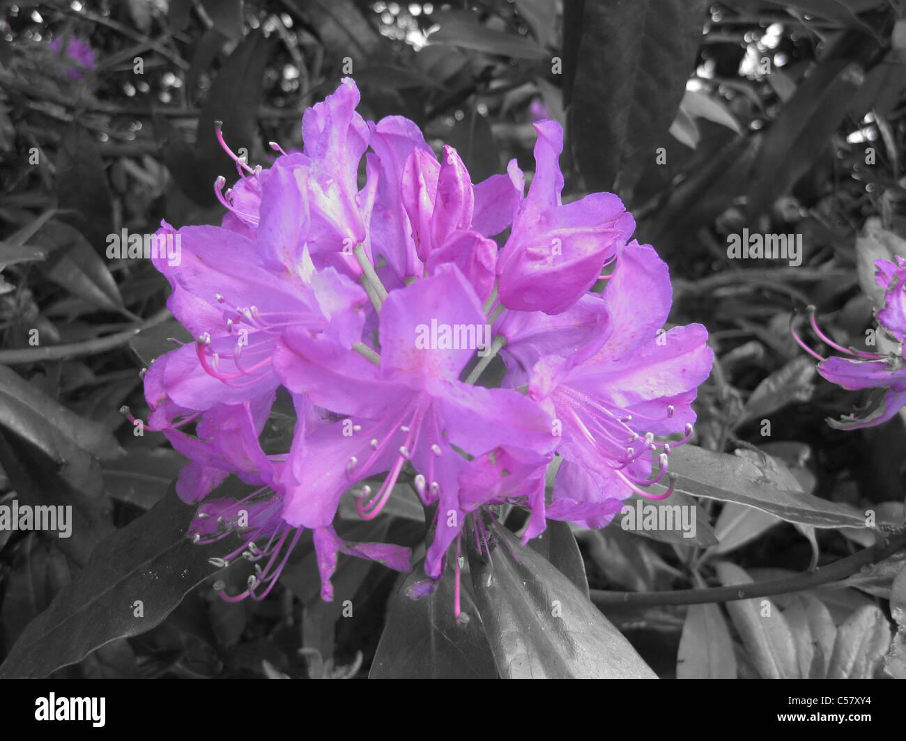 Wild Rhododendron accento colore lilla Immagini Stock