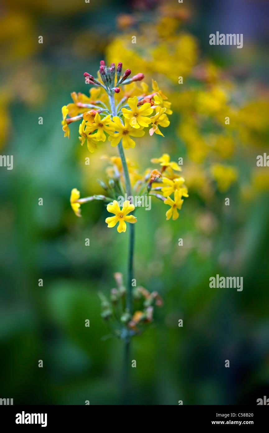 Close-up immagine della bei fiori gialli di candelabri primula - Primula chungensis, immagine presa contro un dolce Immagini Stock