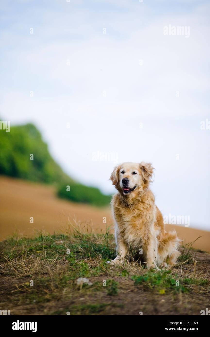 Outdoor ritratto di un cane obbediente; un anziana donna golden retriever. Immagini Stock