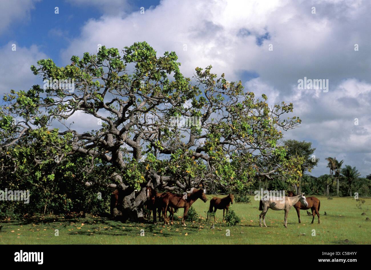 Cavalli, albero, Fazenda Sao Franzisco, Ilha do Marajo, Amazon delta, Amazonia, Brasile, Sud America Immagini Stock