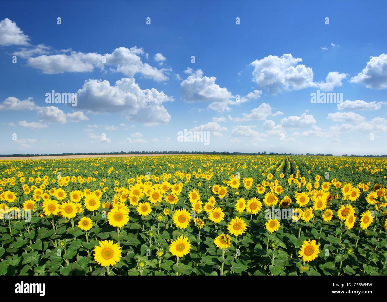 Campo di girasole su un cielo blu sullo sfondo. Immagini Stock