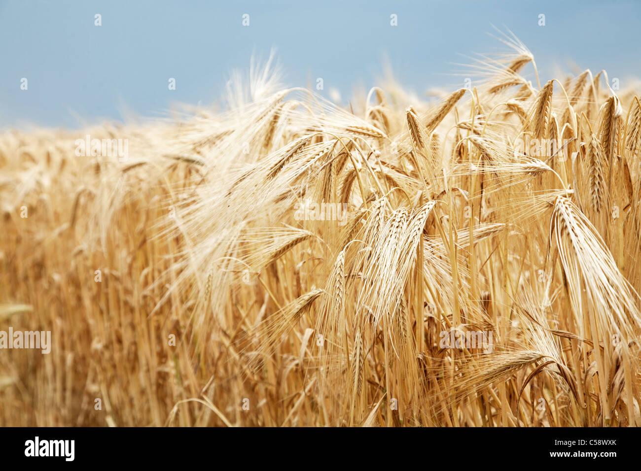 Immagine ravvicinata di grano levetta su un cielo blu sullo sfondo. Immagini Stock