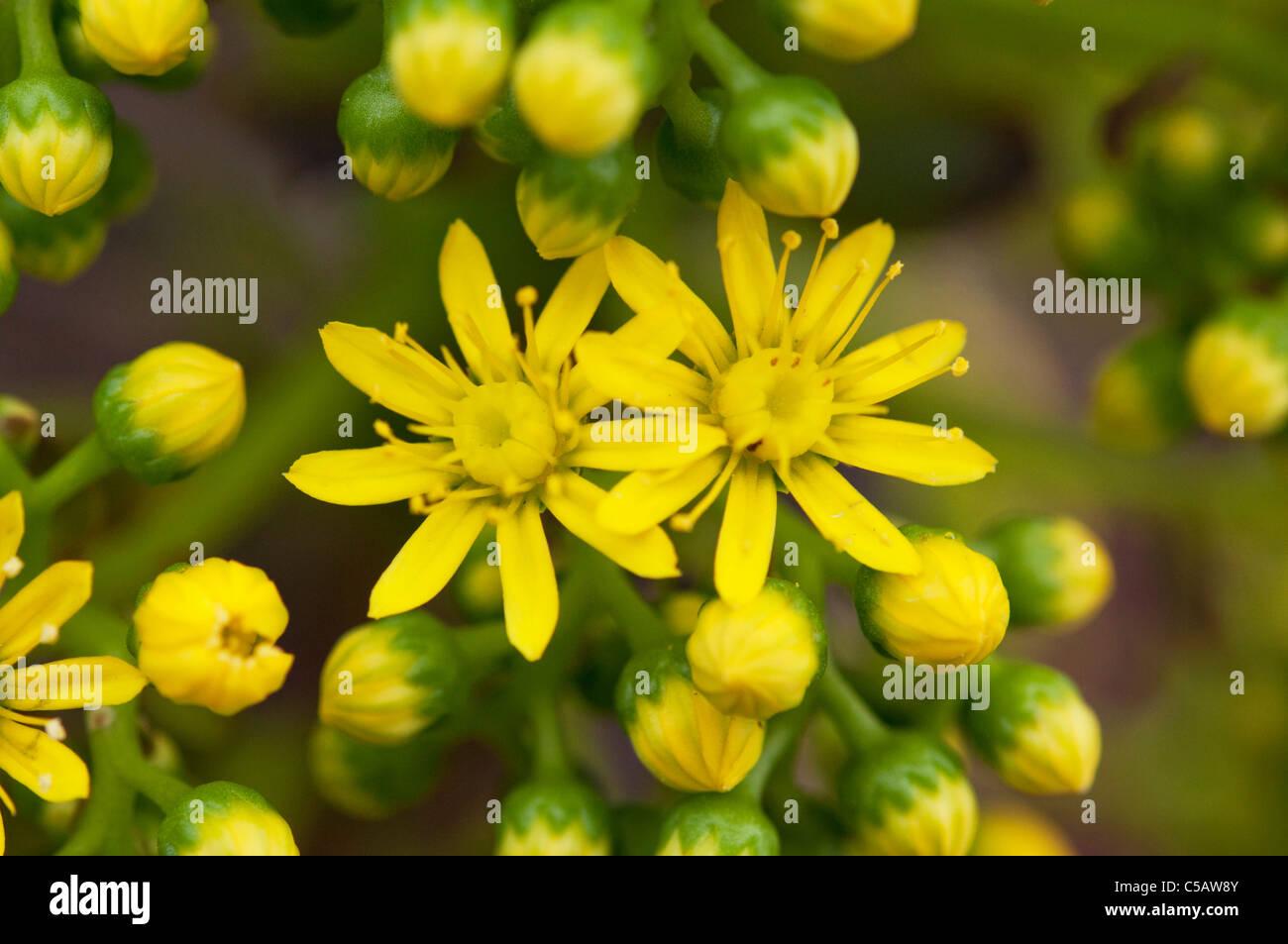 Fiori Gialli Ornamentali.Fiori Gialli Su Una Pianta Ornamentale Di Piante Succulente In