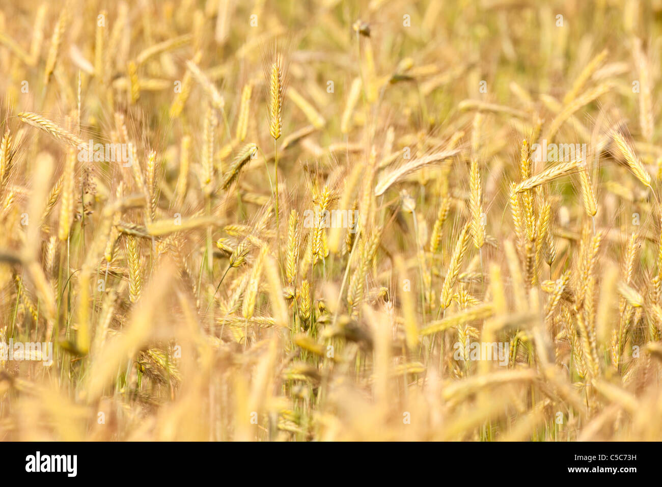 Close up di orzo in un campo pronto per la mietitura Immagini Stock