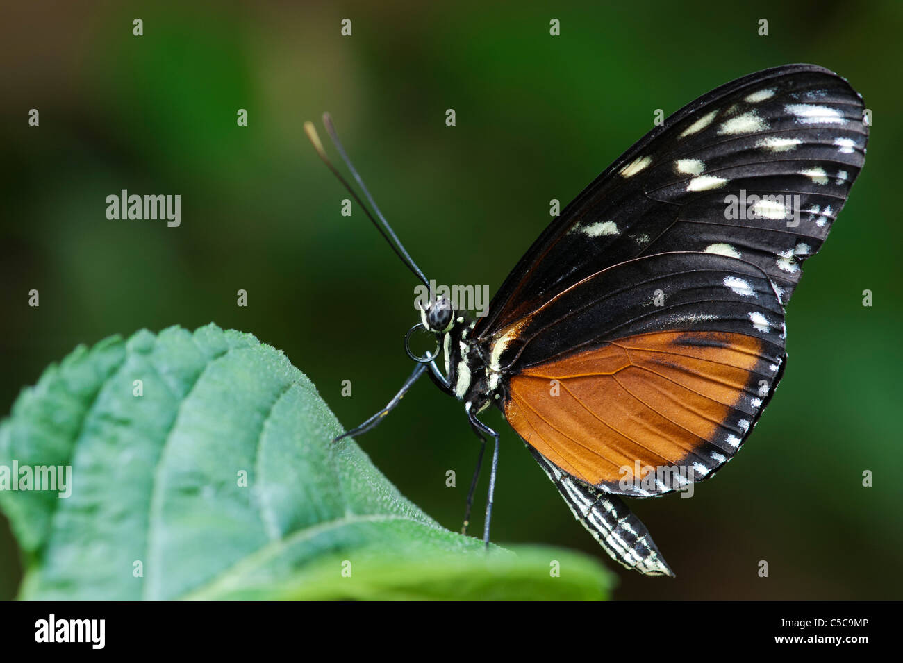 Heliconius hecale . Tiger Longwing butterfly Immagini Stock
