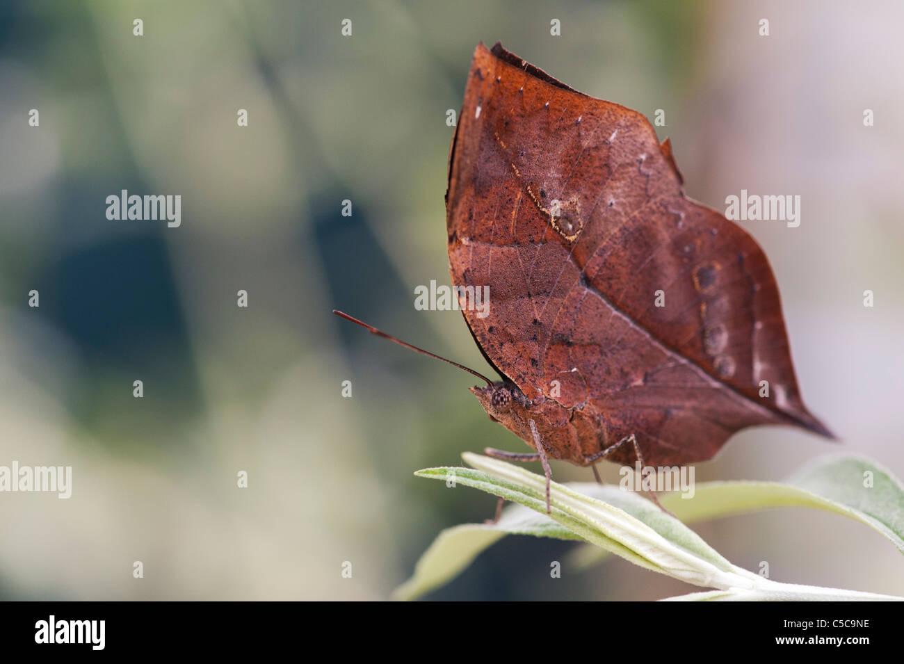 Kallima inachus . Oakleaf arancione o foglia morta butterfly Immagini Stock