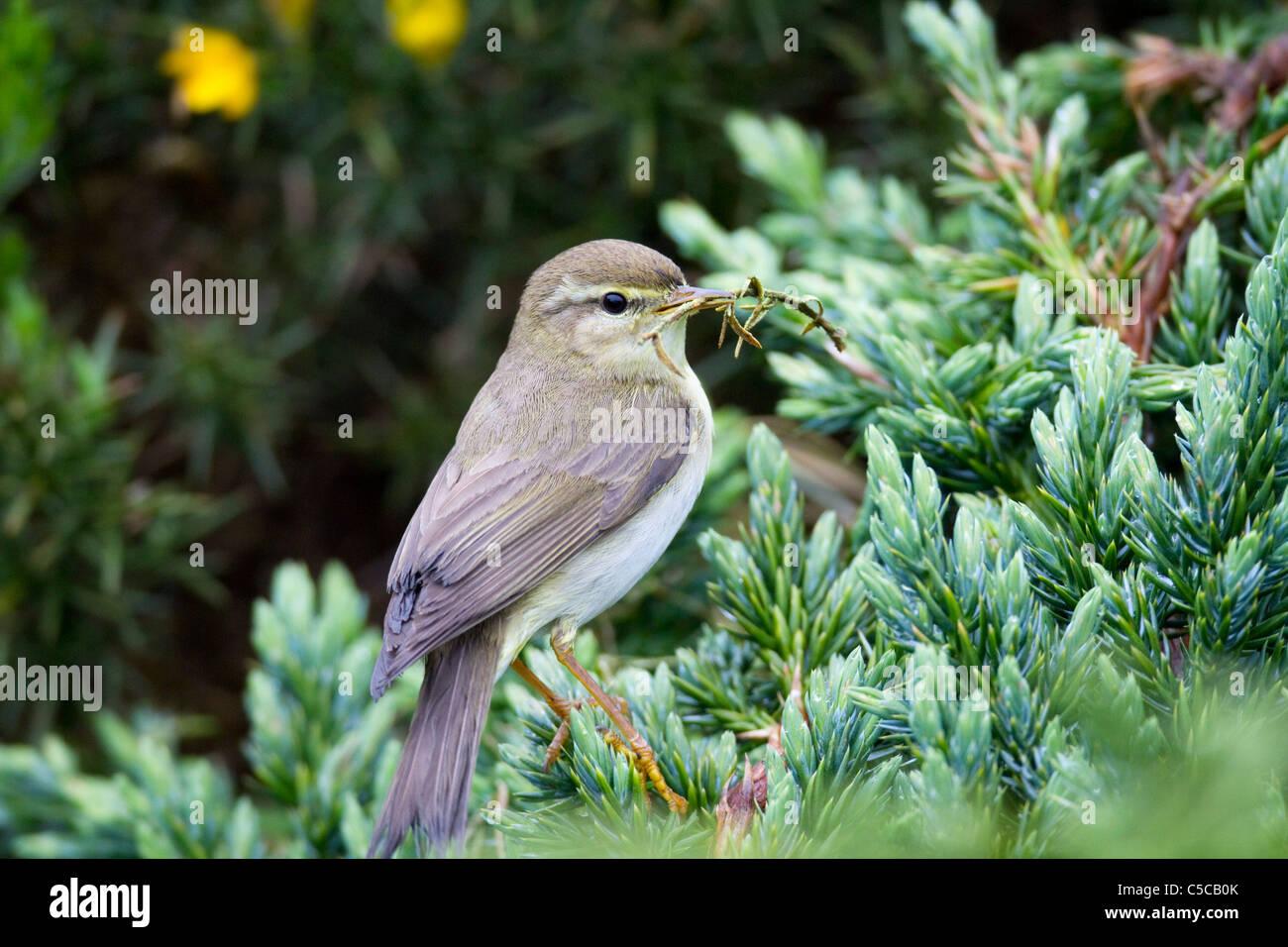 Willow trillo; Phylloscopus trochilus; Scozia; con materiale di nesting Immagini Stock