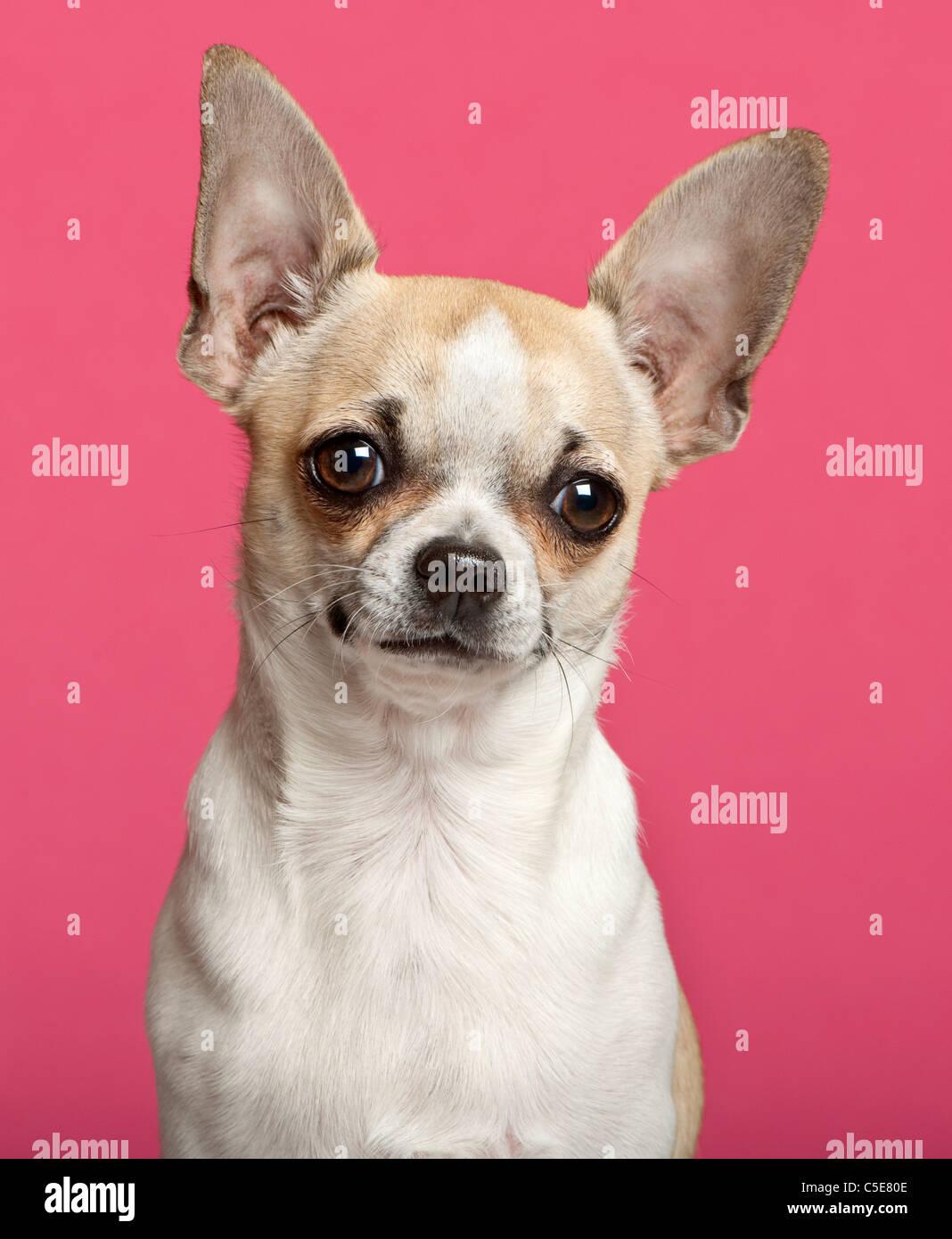 Close-up di Chihuahua, 9 mesi di età, davanti a sfondo rosa Immagini Stock