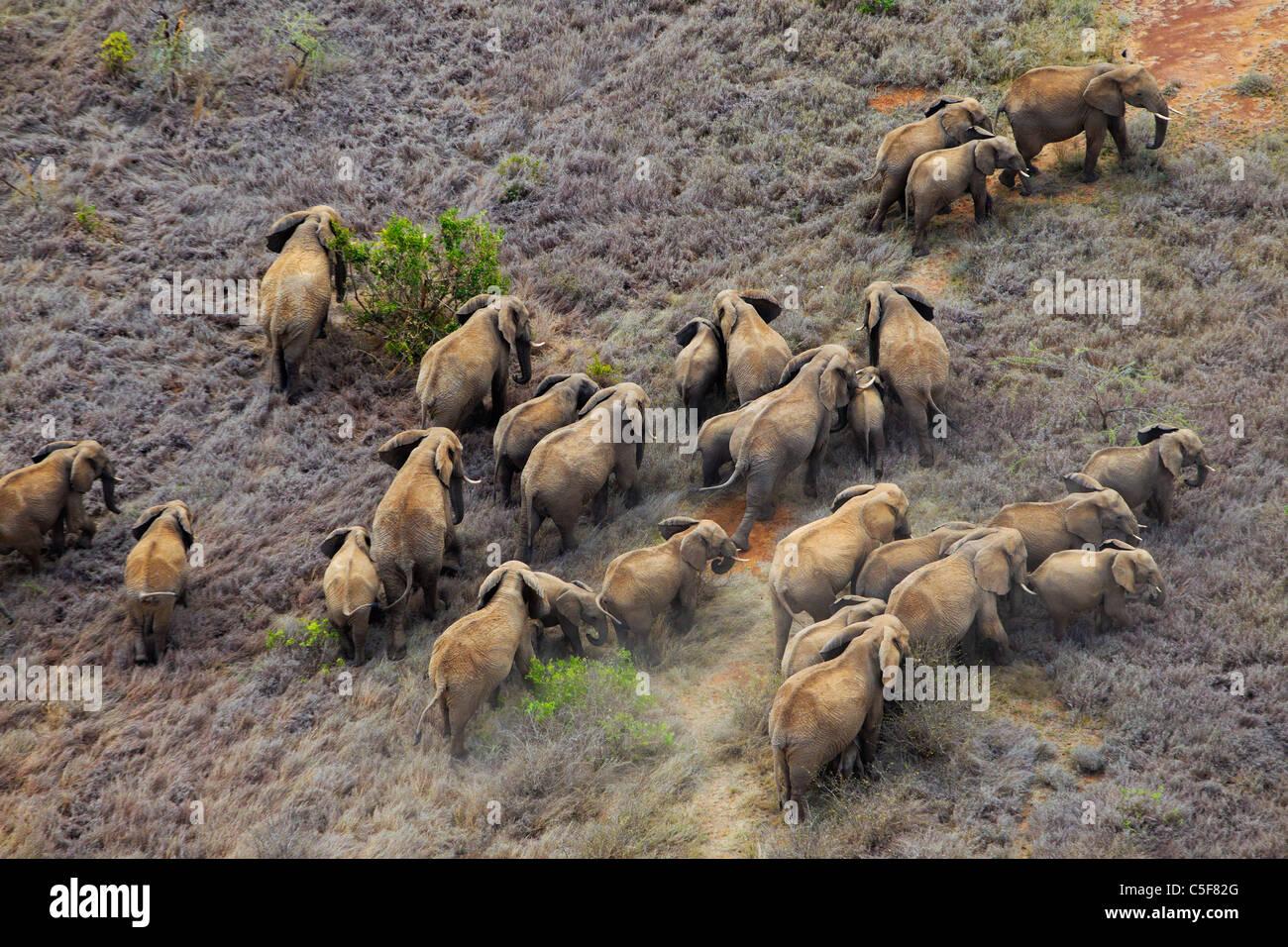 Vista aerea dell'elefante africano (Loxodonta africana) in Kenya. Immagini Stock