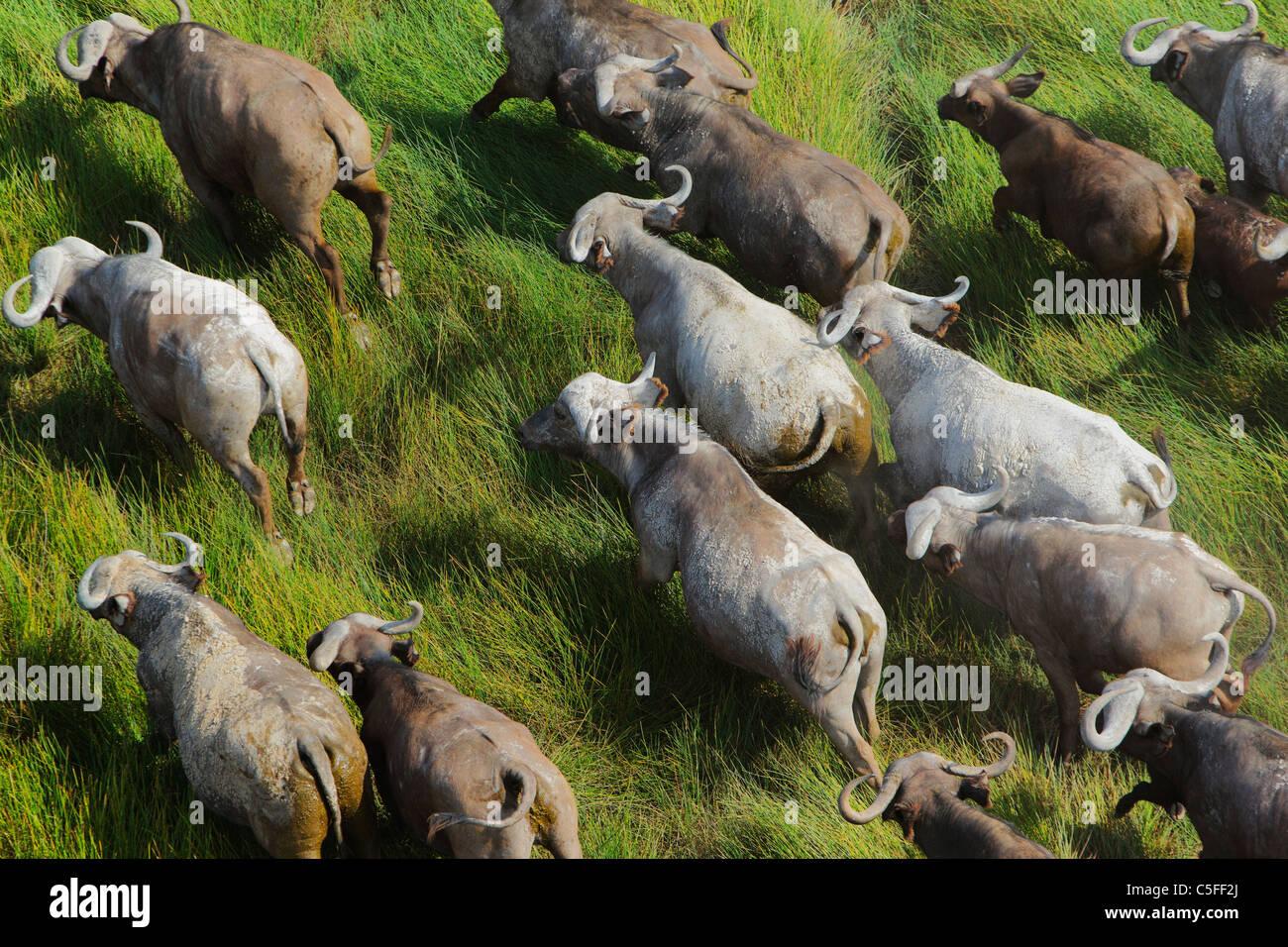 Vista aerea del capo Buffalo (Syncerus caffer) in Kenya. Immagini Stock