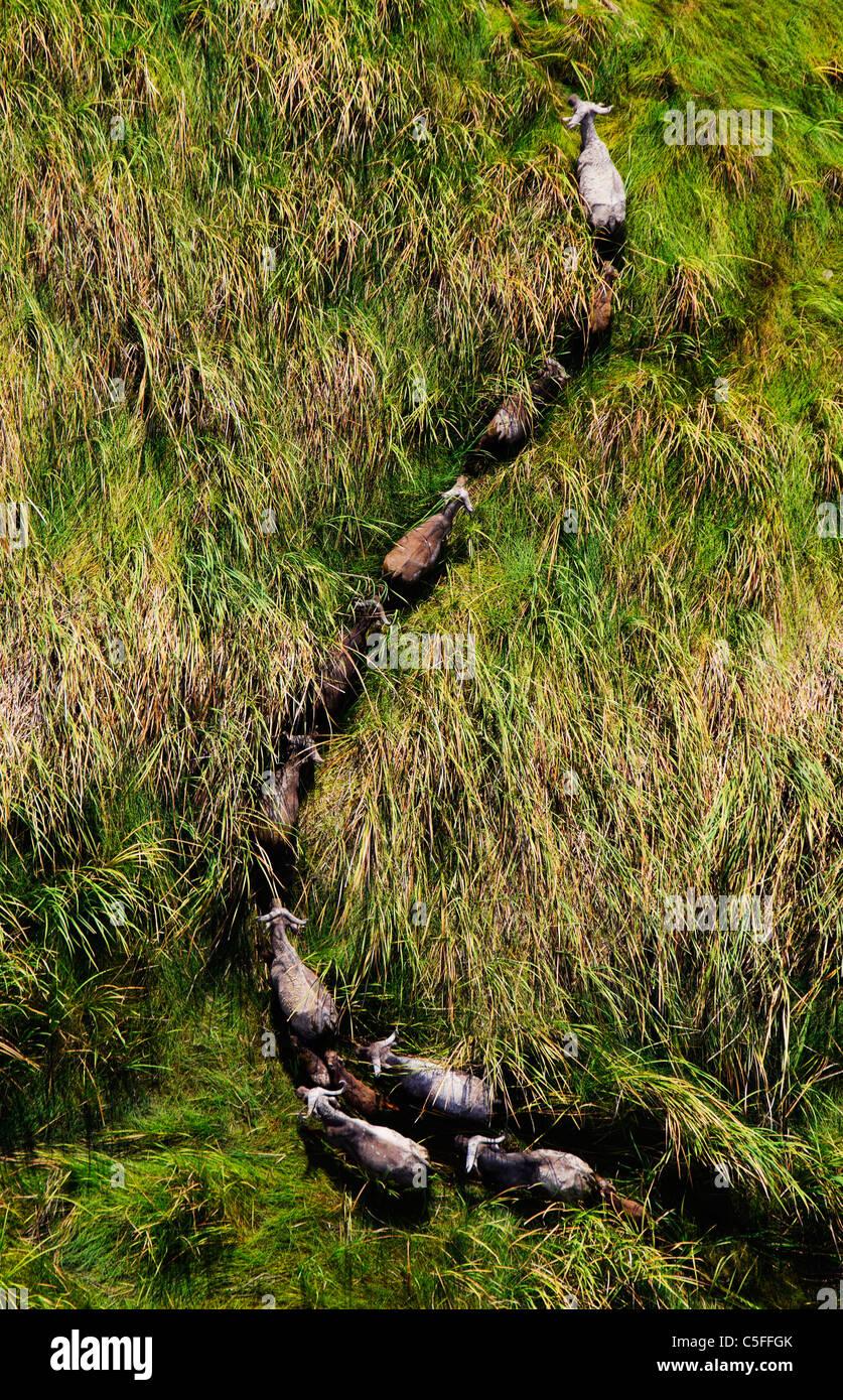 Vista aerea del capo Buffalo (Syncerus caffer) in Kenya. Foto Stock