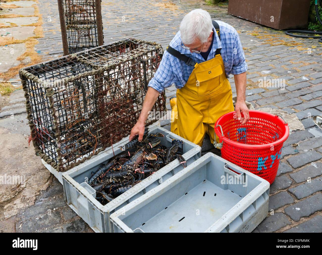 Fisherman rimozione di aragosta fresca da pentole sulla banchina del porto nel villaggio di pescatori di Crail, Immagini Stock