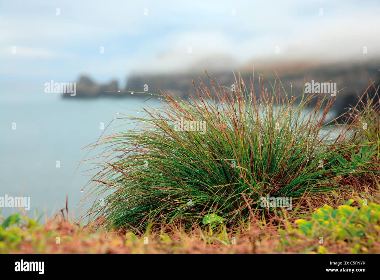 Isole Azzorre flora endemica: Festuca petraea Guthnick. Nome portoghese è 'bracel-da-rocha' o 'braceu'. Immagini Stock